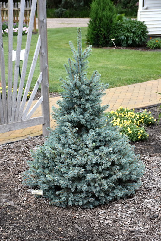 Sester Dwarf Blue Spruce Picea Pungens Sester Dwarf In Columbus Dublin Delaware Grove City
