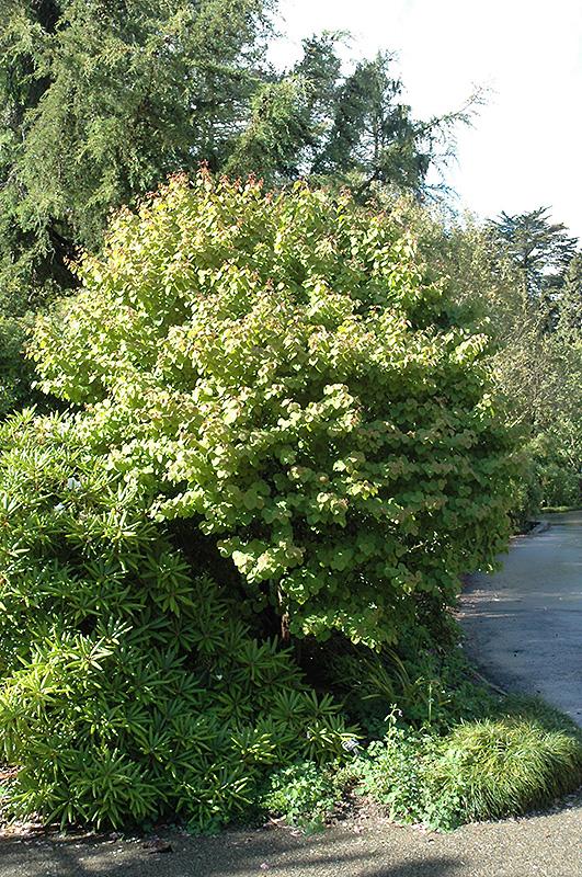 Heronswood Globe Katsura Tree Cercidiphyllum Japonicum Heronswood Globe In Issaquah Seattle