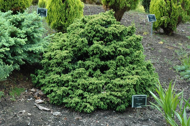 Tansu Dwarf Japanese Cedar Cryptomeria Japonica Tansu In Issaquah Seattle Bellevue Redmond