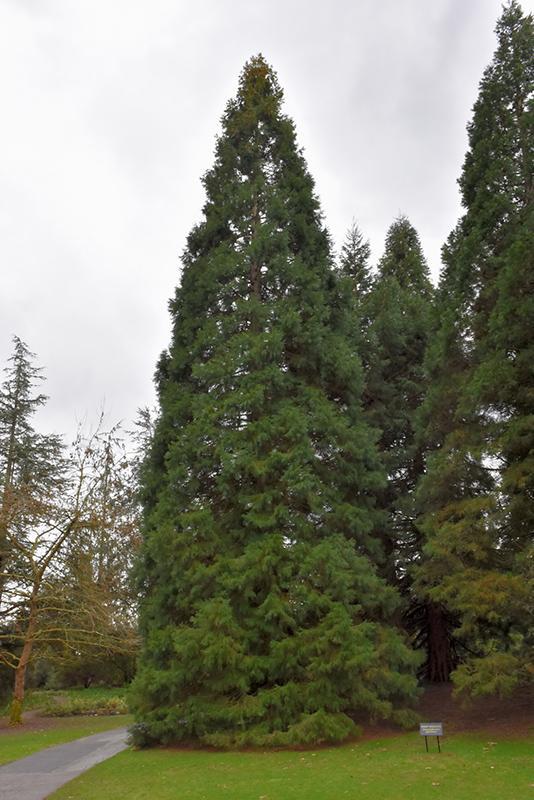 Giant Sequoia Sequoiadendron Giganteum In Issaquah Seattle Bellevue Redmond Renton Sammamish