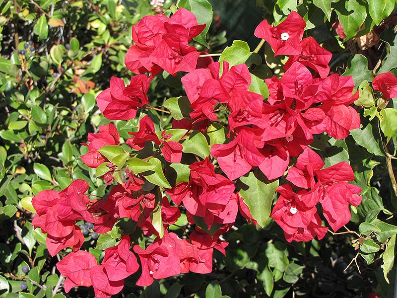 San Diego Red Bougainvillea Bougainvillea San Diego Red