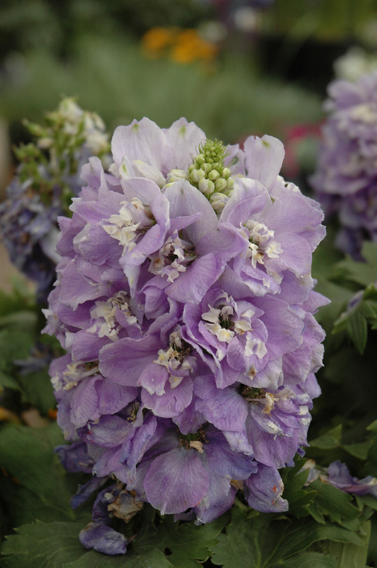3 Zone Lavender