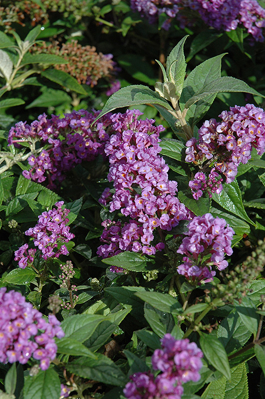 Lo And Behold 174 Purple Haze Dwarf Butterfly Bush Buddleia