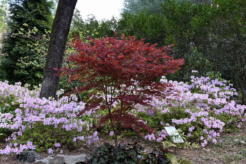 Red Baron Japanese Maple Acer Palmatum Red Baron In