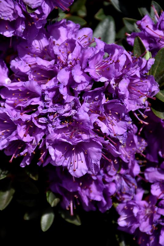 Purple Gem Rhododendron Rhododendron Purple Gem In Boston Hopkinton Chelmsford Massachusetts