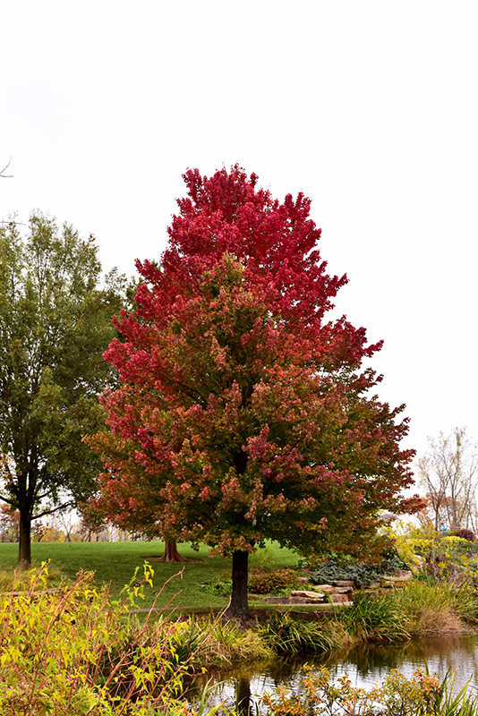 Red Sunset Red Maple Acer Rubrum Red Sunset In Boston Hopkinton Chelmsford Massachusetts MA