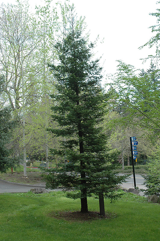 Coast Redwood (Sequoia sempervirens) in Fayetteville