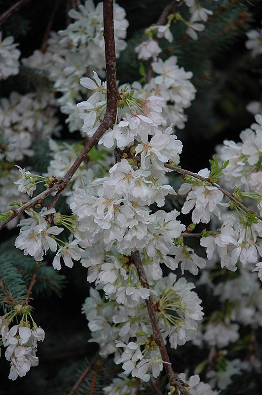 White Fountain Weeping Cherry Prunus White Fountain In