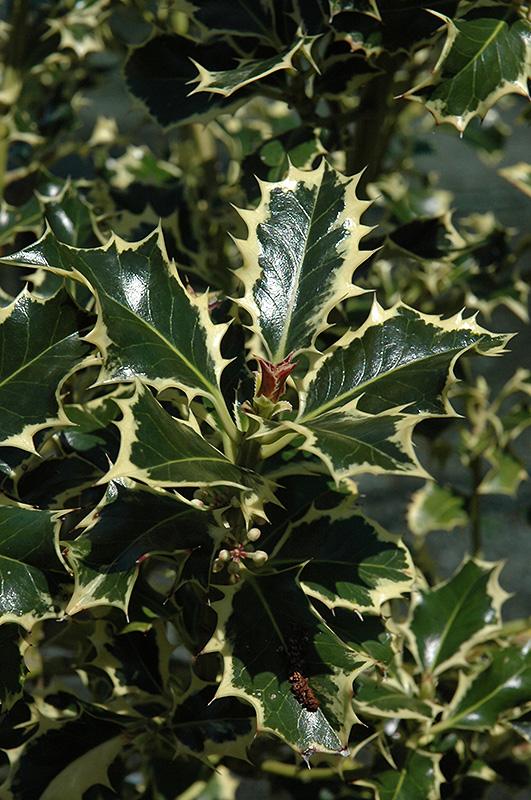 Aureomarginata English Holly Ilex Aquifolium
