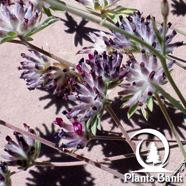 Anthyllis vulneraria . Maura
