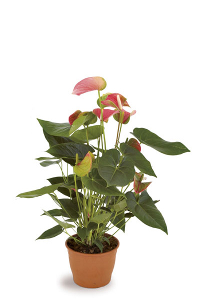 Anthurium-indoor-plants-plantscapes