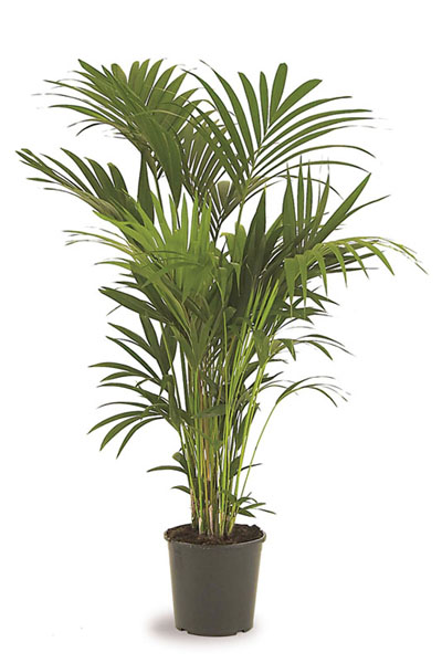 howea-forsteriana-plantscapes