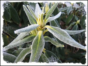 Frost covers a Rhododendron
