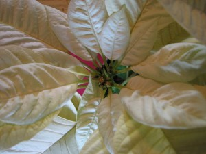 Keep Your Poinsettias Looking Their Best