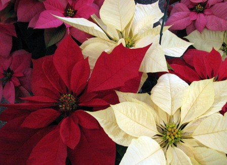 Beautiful Poinsettia Mix