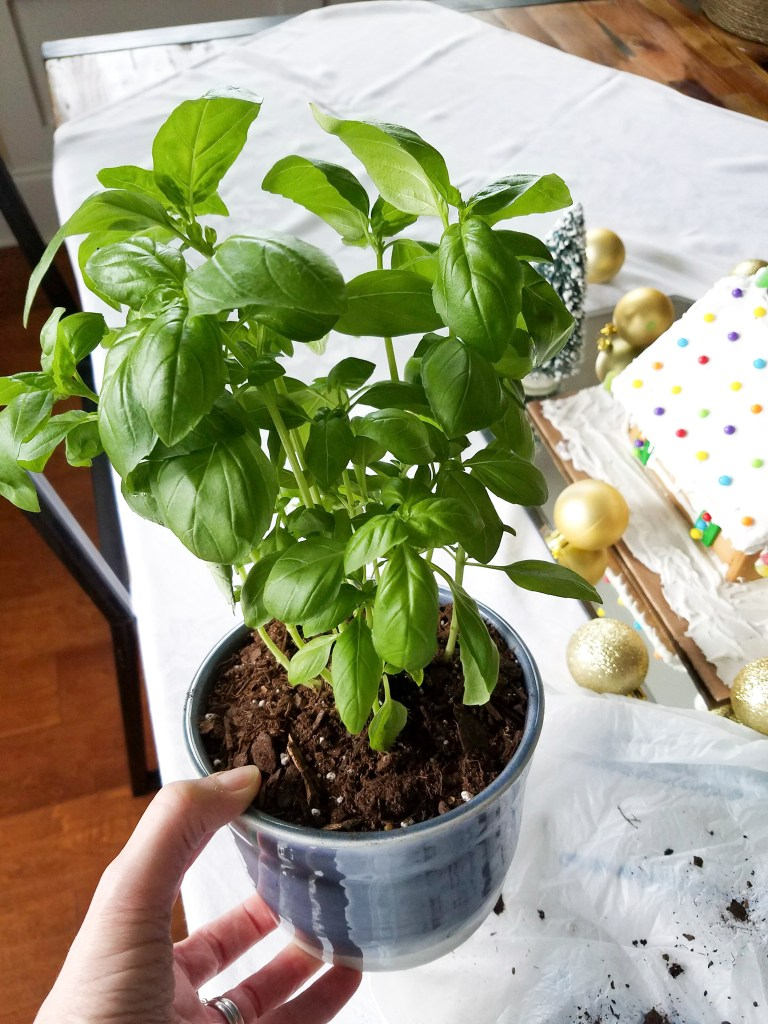 Grow Basil Indoors for Winter - Plants Don\'t Wine
