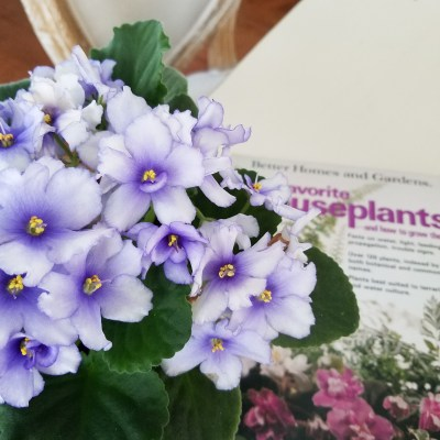 African Violets Care Guide, how to care for african violets. violets, houseplants, propagation, easy houseplants