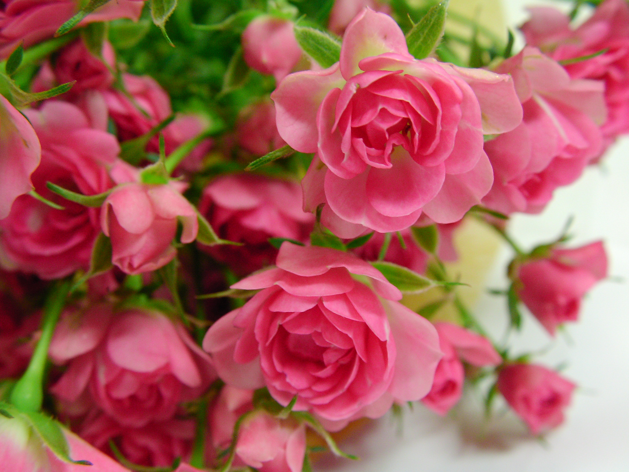 Miniature roses deserve major attention