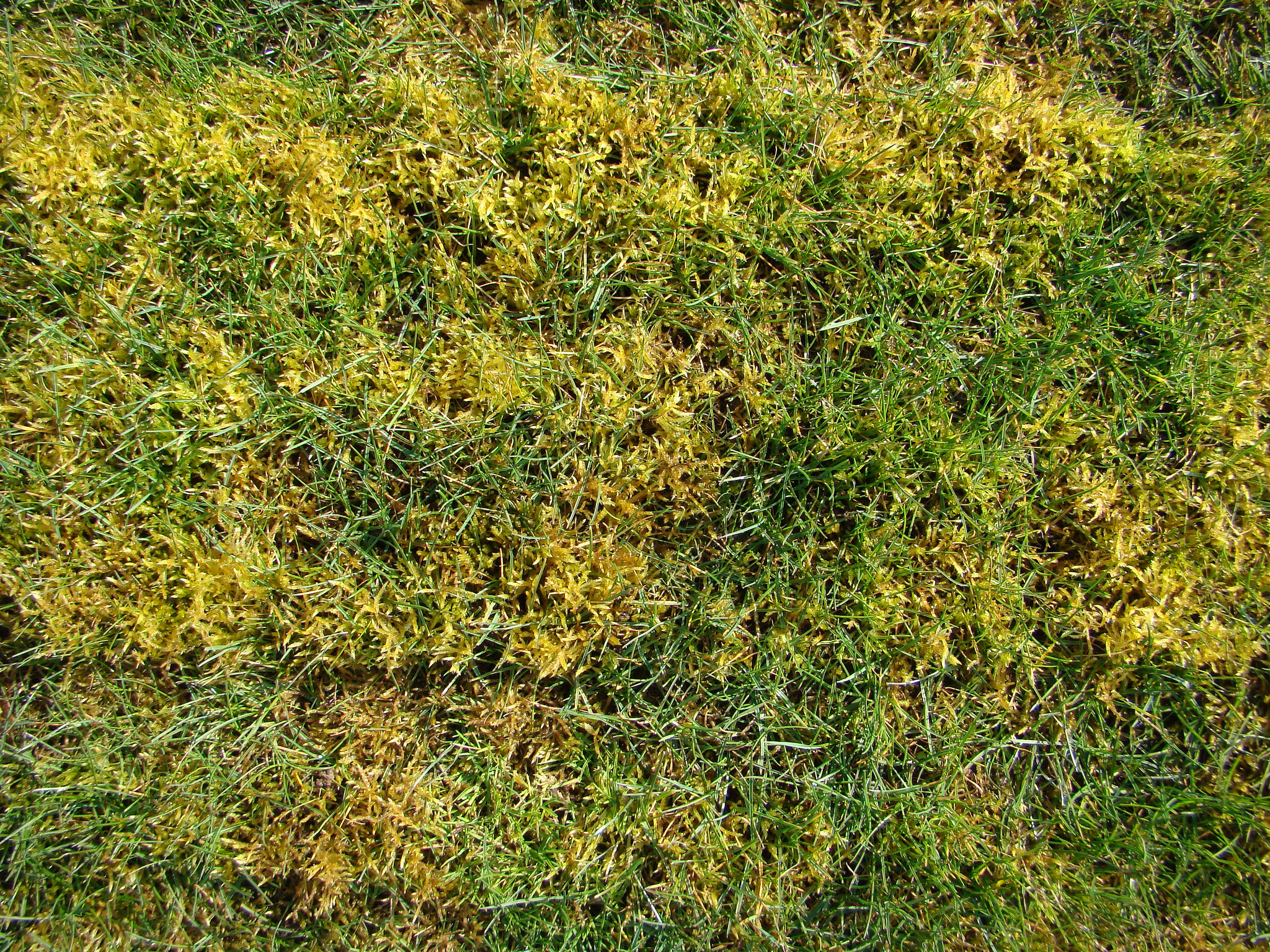 Control moss in the lawn by keeping grass healthy