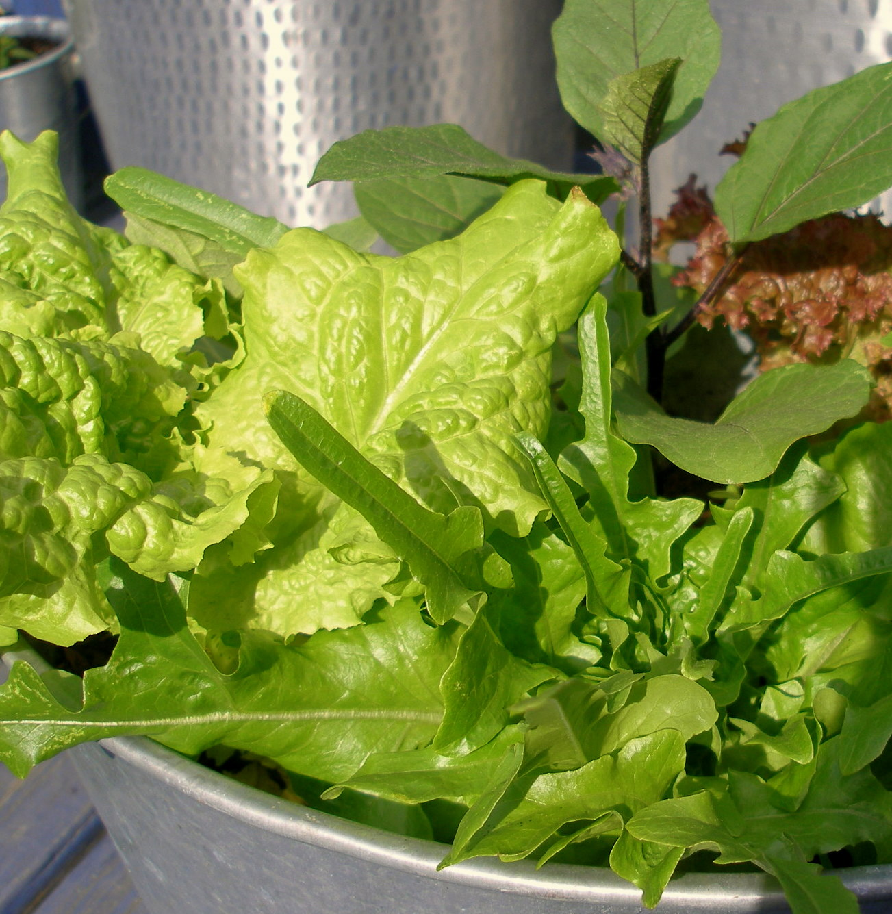 lettuce and indian eggplant