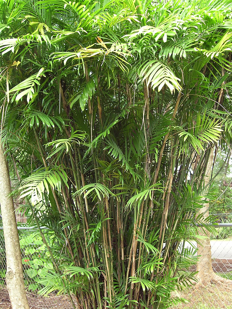 Plants Amp Flowers Bamboo Palm