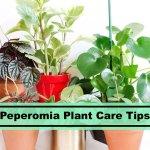 Peperomia Plant Guide Learn To Take Care Peperomia Houseplants Plants Spark Joy