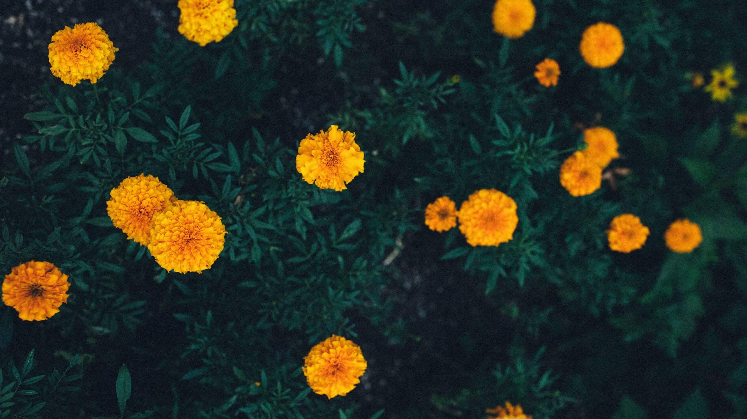 Marigolds deter wasps