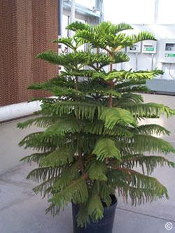 1321 Norfolk Island Pine PlantTalk ColoradoPlantTalk