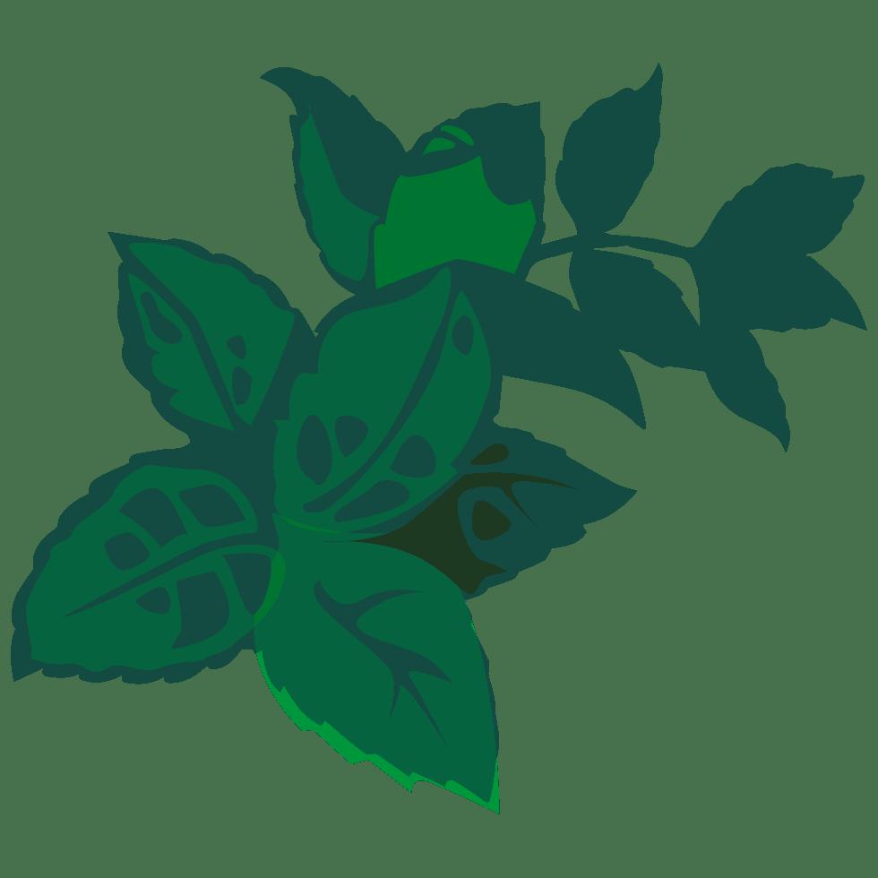 PLANTUS illustration de mélisse Melissa officinalis L. utilisée dans les boissons PLANTUS. Tous droits réservés UI SAS.