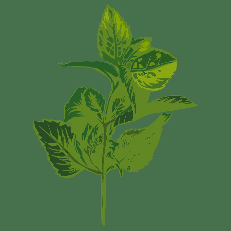 PLANTUS illustration de menthe poivrée Mentha x piperita L. utilisée dans les boissons PLANTUS. Tous droits réservés UI SAS.