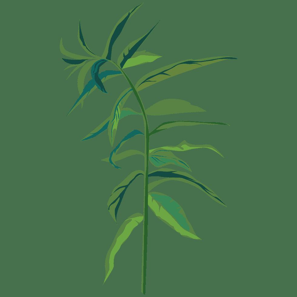 PLANTUS illustration de verveine Aloysia citrodora Palau utilisée dans les boissons PLANTUS. Tous droits réservés UI SAS.