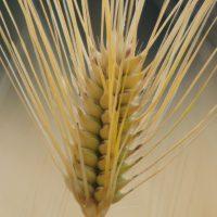 麦の美しさ