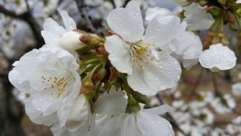 Flor de cerezo