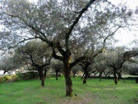Encina Extremadura