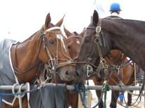 Los caballos del torneo de Polo