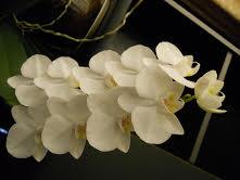 paulettes orchid