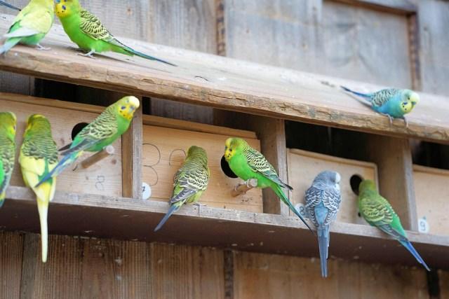Love Bird Dengan Suara Yang Merdu