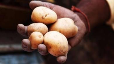 Foto de Plástico à base de batata é desenvolvido no Peru