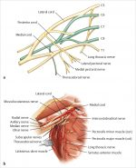 47 Latissimus Dorsi Flap Anatomy