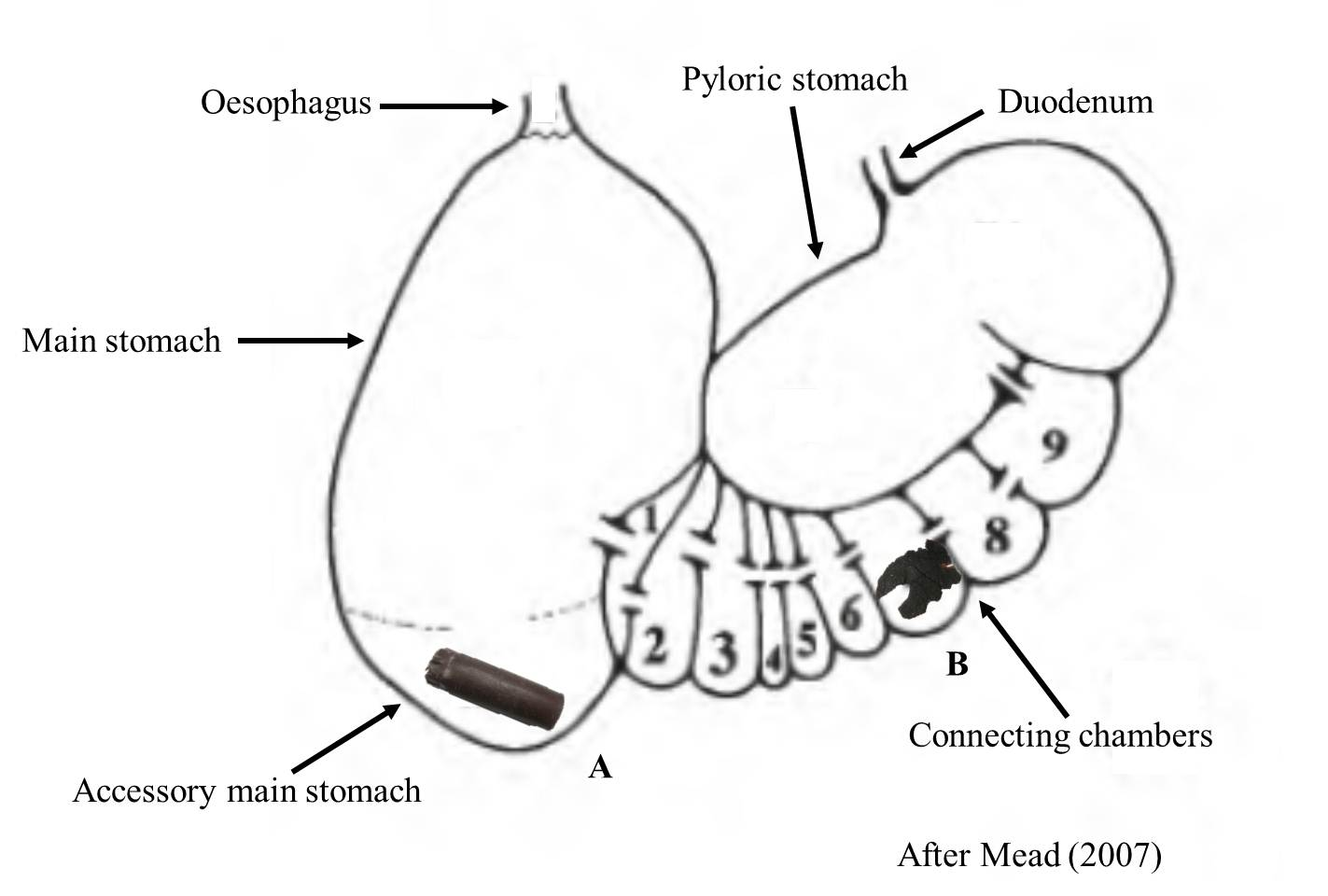 Micro And Macroplastic Ingestion By Marine Mammals