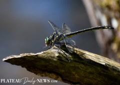 Dragonflies (17)