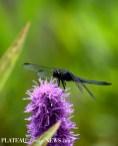 Dragonflies (21)