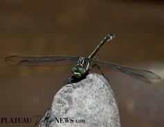 Dragonflies (31)