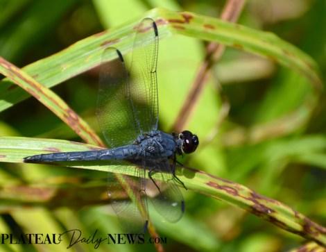 Dragonflies (34)