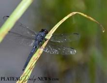 Dragonflies (36)
