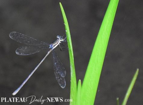 Dragonflies (4)