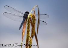 Dragonflies (42)