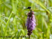 Dragonflies (47)