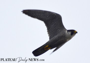 Falcon (4)