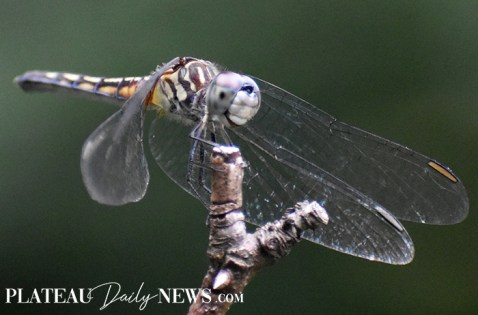dragonfly (3)